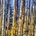 Leaning Aspen Grove by Jamie Rood